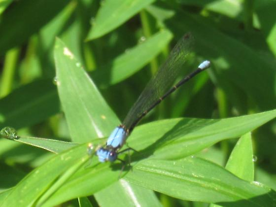 Blue Damselfly? - Argia apicalis