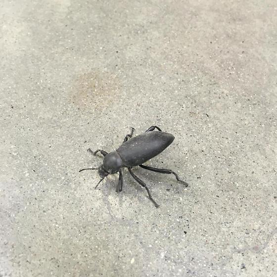California Bug - Eleodes