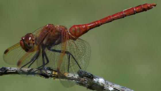 Cardinal Meadowhawk? - Sympetrum madidum