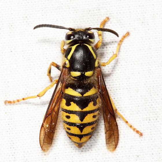 Common Aerial Yellowjacket - Dolichovespula arenaria - female