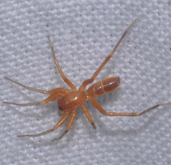 Spider - Castianeira trilineata