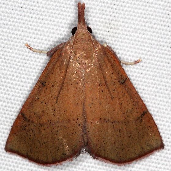 moth - Lepidomys irrenosa
