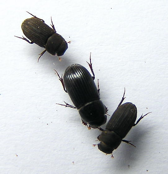 Very Small Dung Beetles - Ataenius