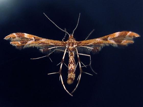 Grape Plume Moth  - Hodges #6091 (Geina periscelidactylus) - Geina periscelidactylus
