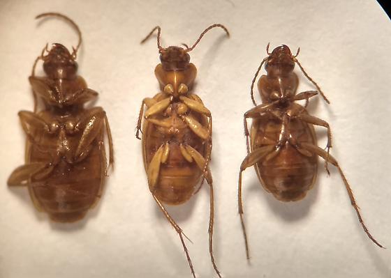 Coleoptera > Carabidae > Cyclosomini > Tetragonoderus pallidus? - Tetragonoderus pallidus