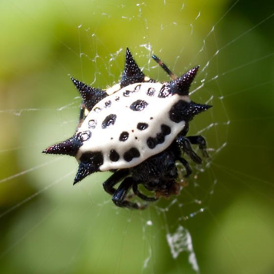 Spiny Orbweaver - Gasteracantha cancriformis