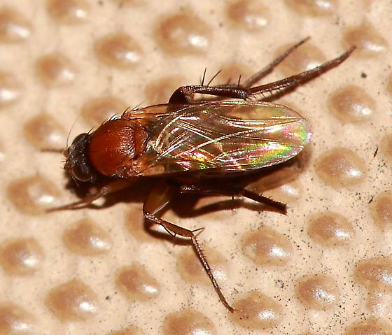 Fly - Chaetopleurophora