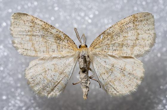 Cabera erythemaria - male