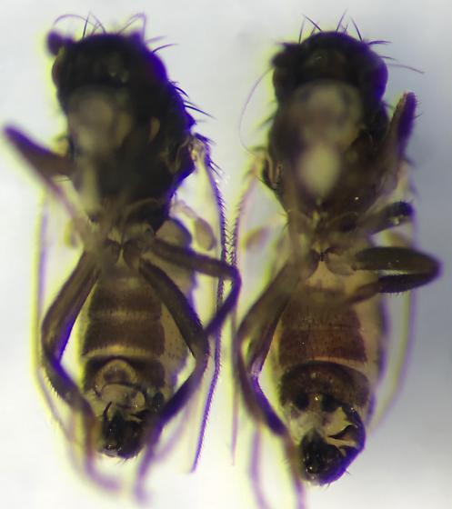 Telomerina orpha - Telomerina - male