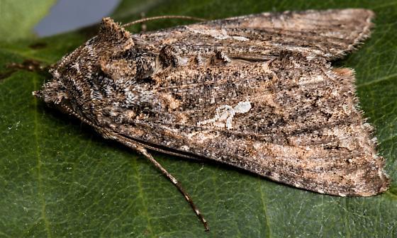 Cabbage Looper Moth? - Trichoplusia ni