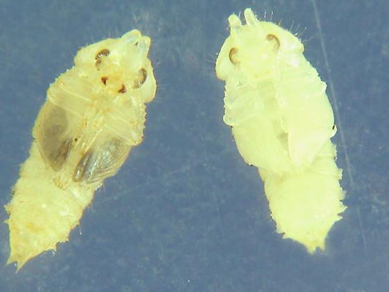 Guess who - Neomida bicornis