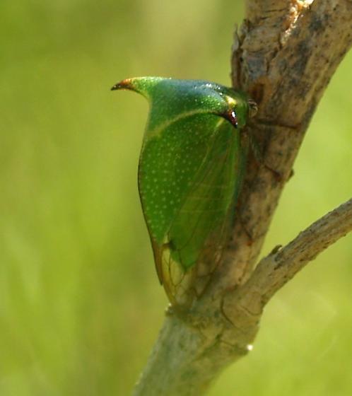 Treehopper - Stictocephala tauriniformis