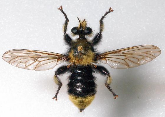 Unknown Mallophora sp. 2 - Laphria astur
