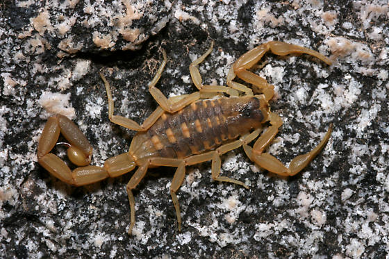 Centruroides in the Organ Mountains - Centruroides vittatus - female
