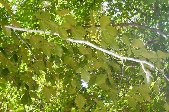 White fuzzy tree branch bugs - Grylloprociphilus imbricator