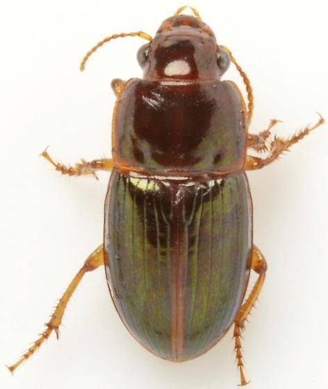 Harpalus gravis - male