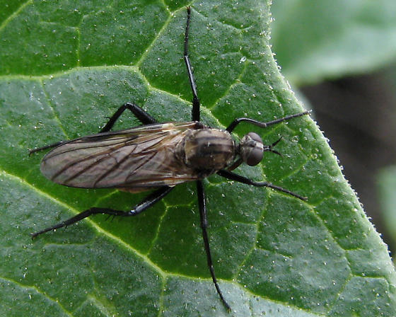 ID for Field Station Empidid #4? - Rhamphomyia - female