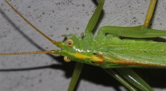Drumming Katydid - Meconema thalassinum - male