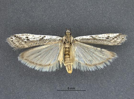 Moth from Colorado - female