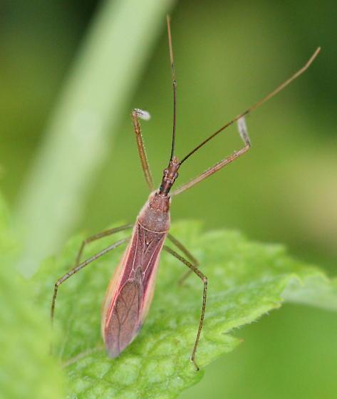 a brown Assassin Bug - Zelus cervicalis