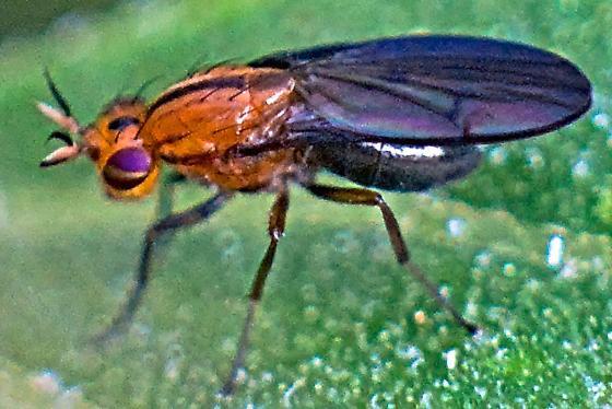 Small Fly - Camptoprosopella dolorosa