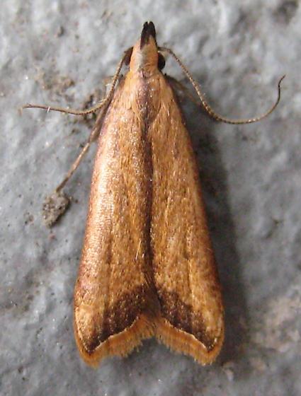 Dichomeris picrocarpa - Dichomeris heriguronis