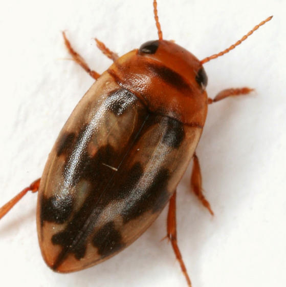 Heterosternuta diversicornis (Sharp) - Heterosternuta diversicornis