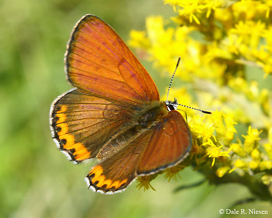 Orange and white butterfly - Lycaena hyllus - male