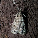 Moth, Scoparia sp. - Scoparia basalis