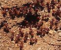 Ants - Pogonomyrmex barbatus