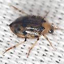 Crawling Water Beetle - Peltodytes
