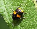 Case-bearing Leaf Beetle - Bassareus