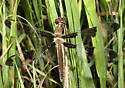 Twelve-spotted Skimmer - Libellula pulchella - female