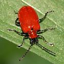 orange beetle - Lilioceris lilii