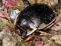 beetle sp. (?Omophron sp.) - Omophron nitidum