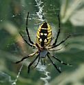 Black & Yellow Argiope - Argiope aurantia - male - female