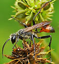 black bee like insect with orange thorax? - Prionyx