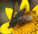 Conophorus atratulus - male