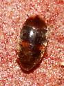 Beetle - Clypastraea lepida