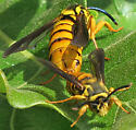 Hornet Clearwing - Paranthrene simulans - male - female