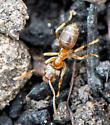 Ant Species?