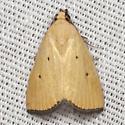 Black-bordered Lemon Moth - Hodges #9044 - Marimatha nigrofimbria