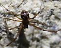 Male spider on stone - Parasteatoda tepidariorum - male