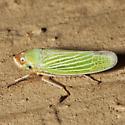 Unknown Leafhopper - Xyphon flaviceps
