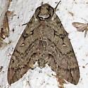 Sphinx Moth - Ceratomia catalpae