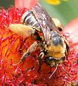 Bee - Svastra obliqua - female