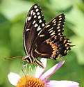 swallowtail - Papilio palamedes