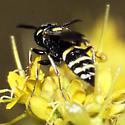 Wasp, possibly Eumeninae? - Philanthus gibbosus