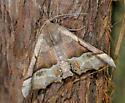 Unknown Moth - Pero