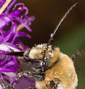 Large long-horned bee  - Melissodes desponsus - male